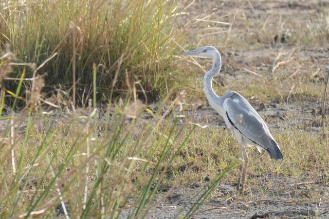 Gray Heron (Mauritanian)