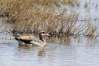 Egyptian Goose