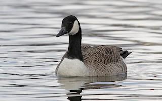 Canada Goose, ML84607451