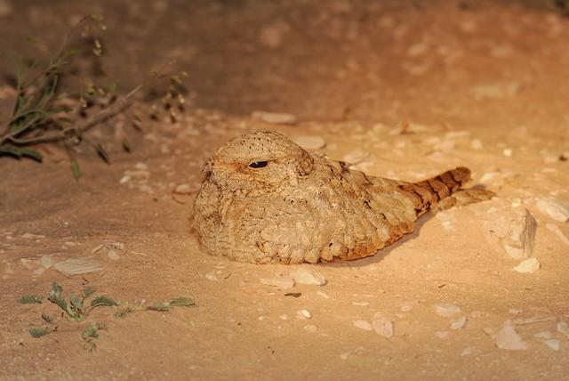 Egyptian Nightjar