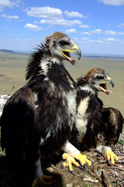 Nestlings molting into Juvenile Plumage.