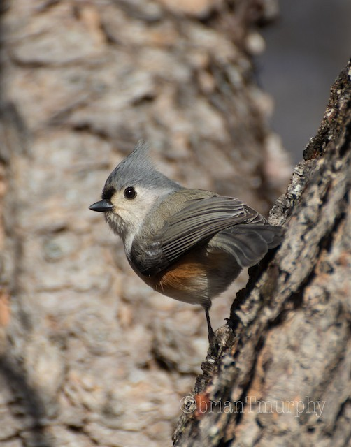 © Brian Murphy - Tufted Titmouse