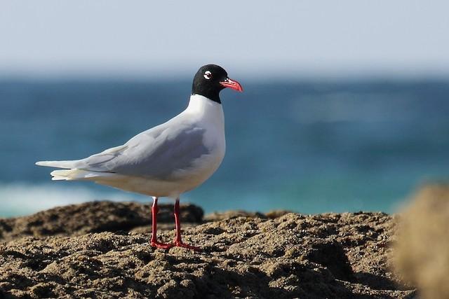 ©António Gonçalves - Mediterranean Gull
