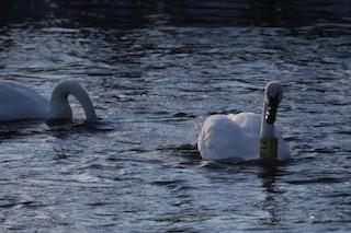 Trumpeter Swan, ML84821111