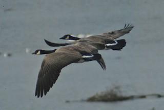 Canada Goose (moffitti/maxima), ML84836641