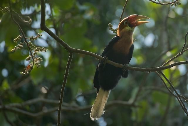 Narcondam Hornbill