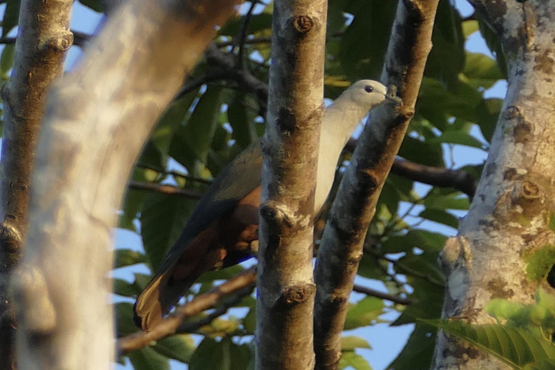 Micronesian Imperial-Pigeon - Peter Kaestner