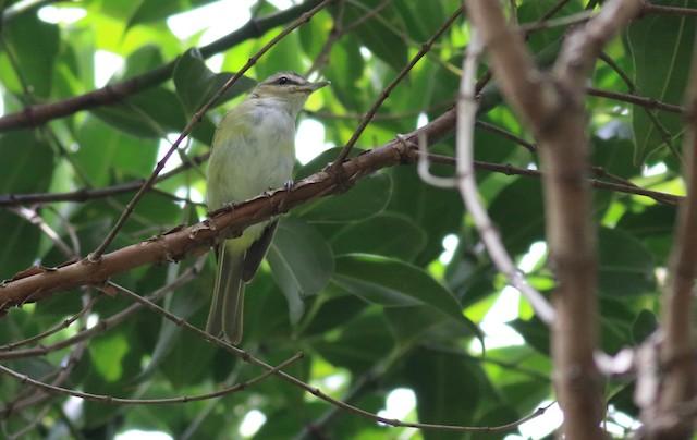 Chivi Vireo (migratory)