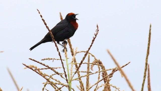 Chestnut-capped Blackbird