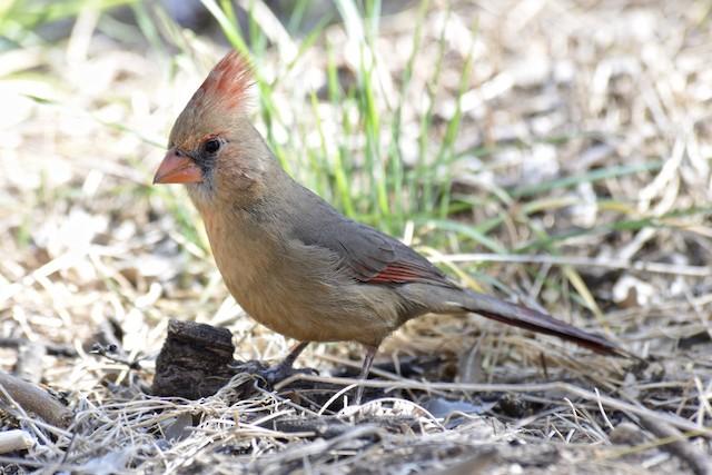Female Northern Cardinal (presumed subspecies <em>superbus</em>).
