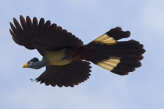 - Great Blue Turaco