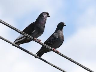Rock Pigeon (Feral Pigeon), ML85006751