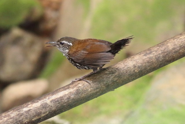 Sharp-tailed Streamcreeper