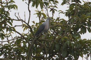 - Afep Pigeon
