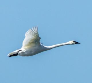 Trumpeter Swan, ML85065991