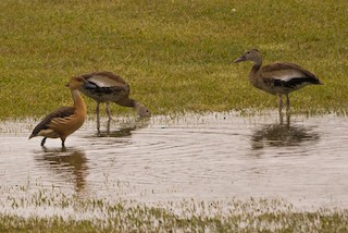 Fulvous Whistling-Duck, ML85079101