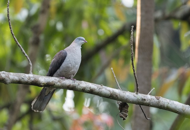 Mountain Imperial-Pigeon