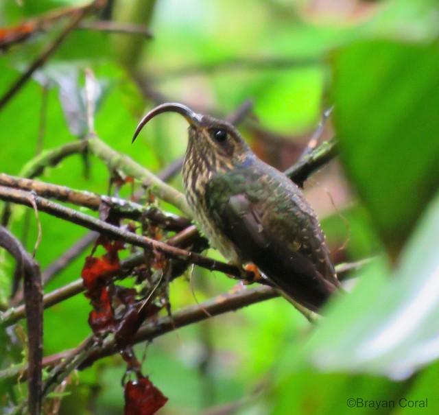 Buff-tailed Sicklebill