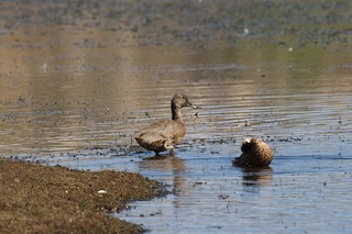Freckled Duck, ML85196751