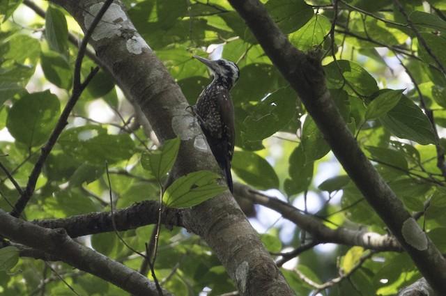 Golden-crowned Woodpecker