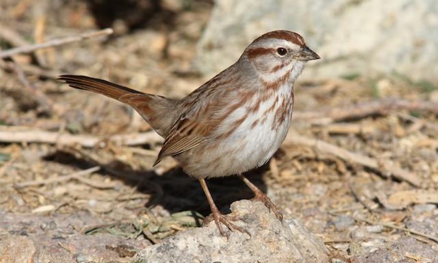 Song Sparrow (fallax Group)