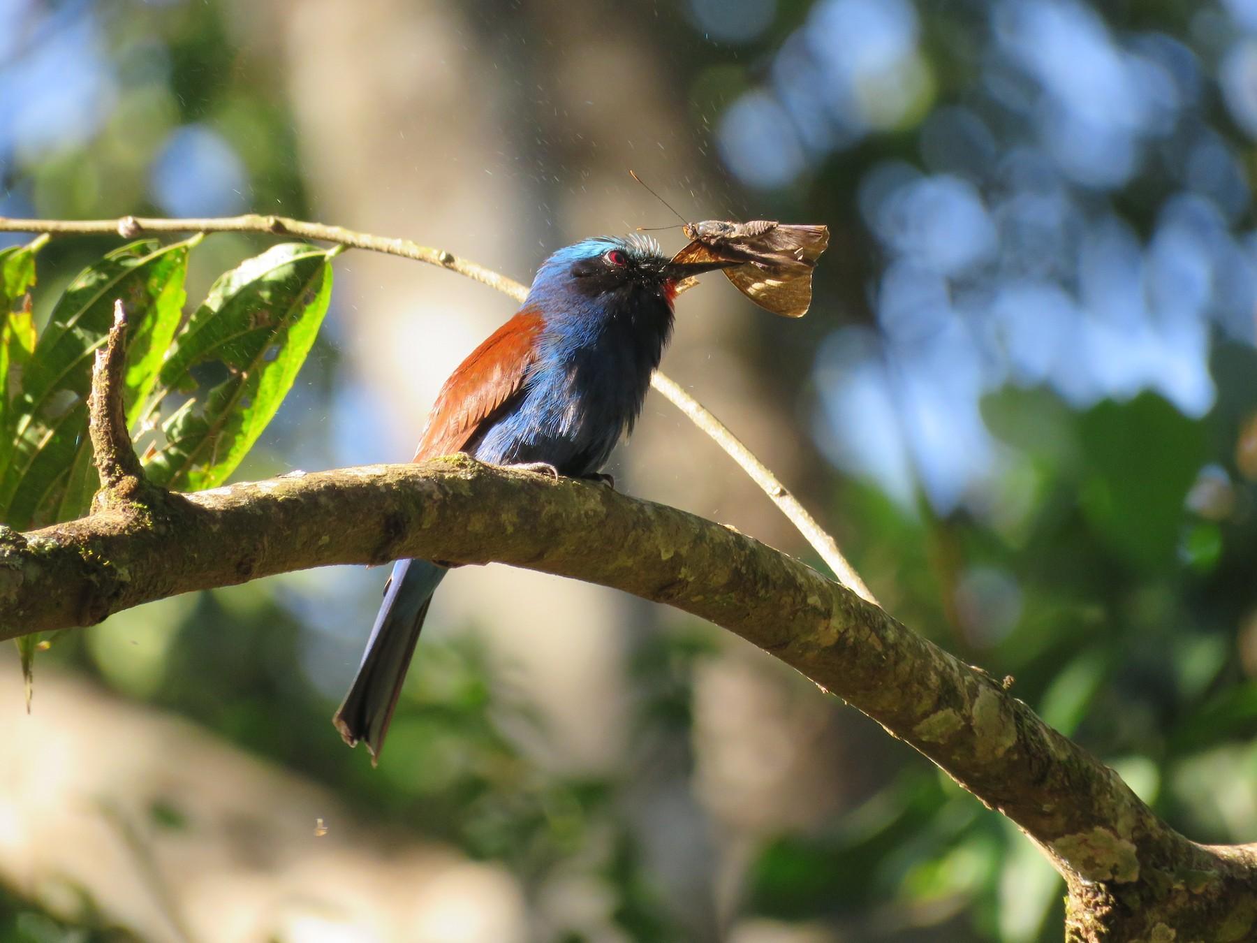 Blue-headed Bee-eater - Craig Caldwell