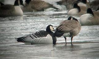 Barnacle Goose, ML85263571