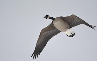 Canada Goose, ML85378721
