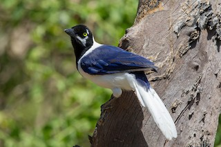 - White-tailed Jay