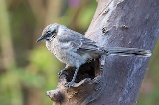 - Long-tailed Mockingbird