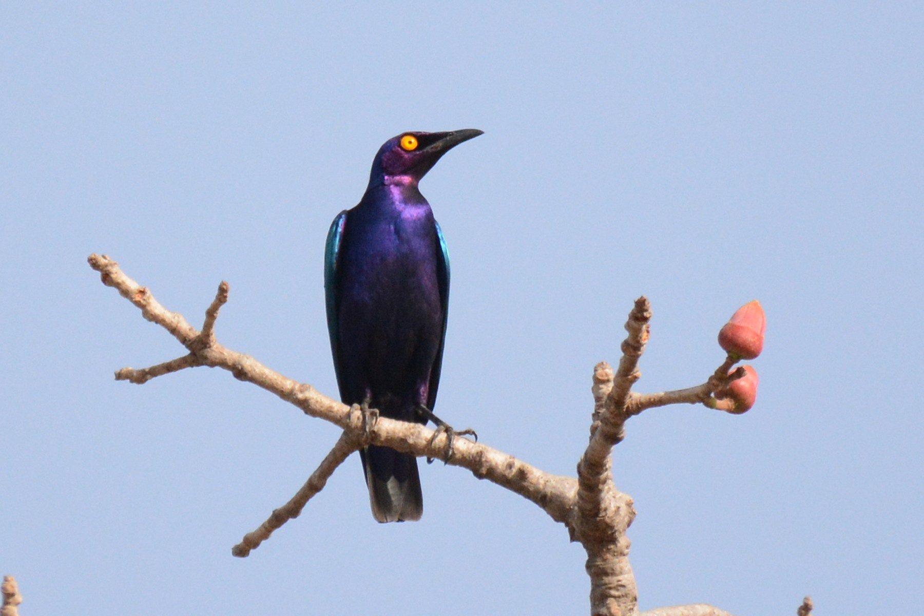 Purple Starling - Marie O'Neill