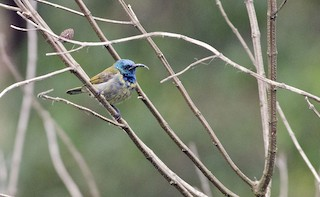 - Blue-headed Sunbird