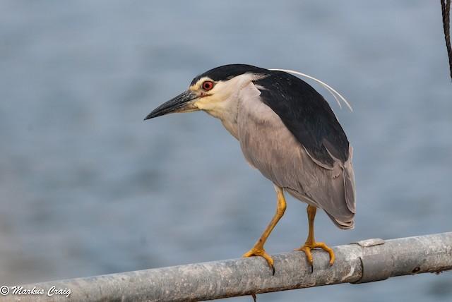 Black-crowned Night-Heron (Eurasian)