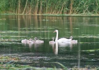 Mute Swan, ML85469291