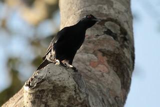 - Chestnut-winged Starling