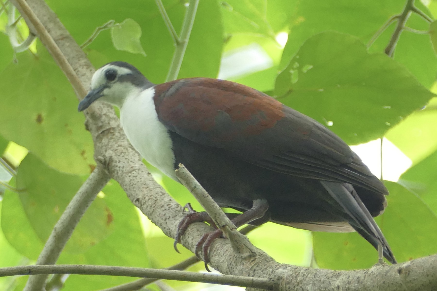 Caroline Islands Ground Dove - Peter Kaestner