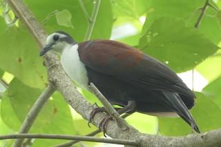 - Caroline Islands Ground Dove