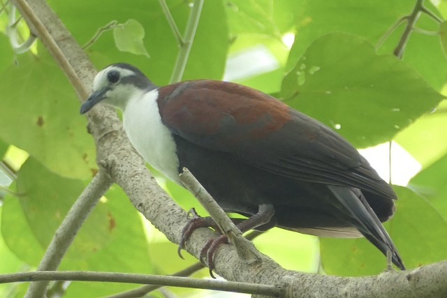 Caroline Islands Ground Dove