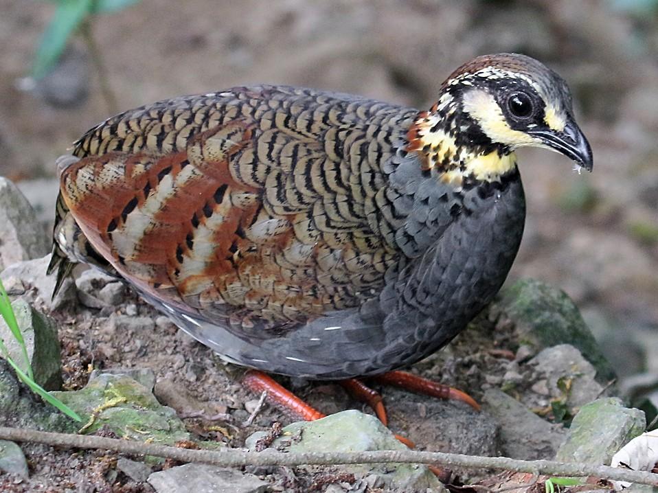 Taiwan Partridge - Ed Thomas