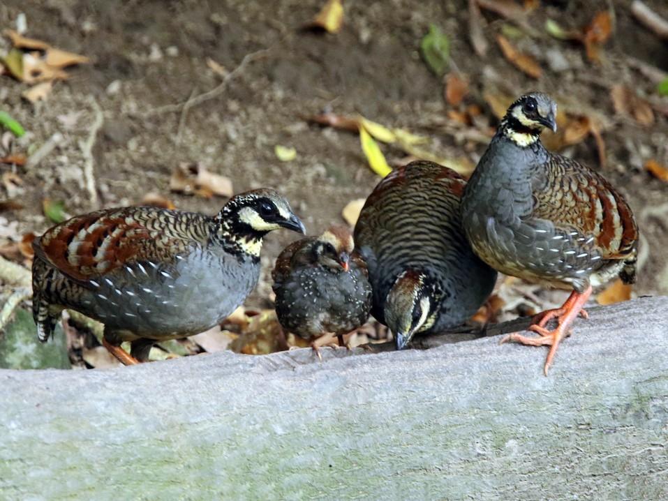 Taiwan Partridge - Arco Huang
