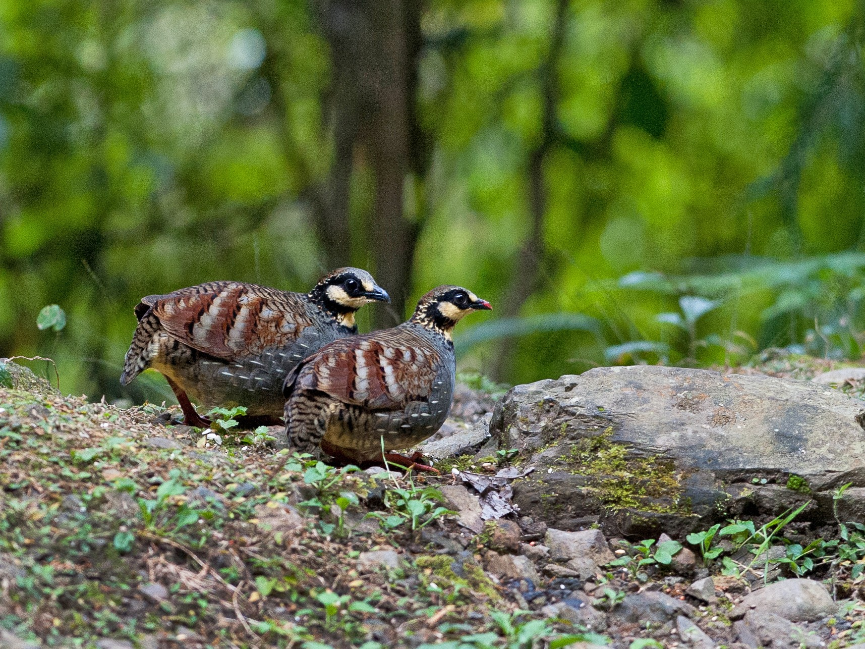 Taiwan Partridge - jimmy Yao