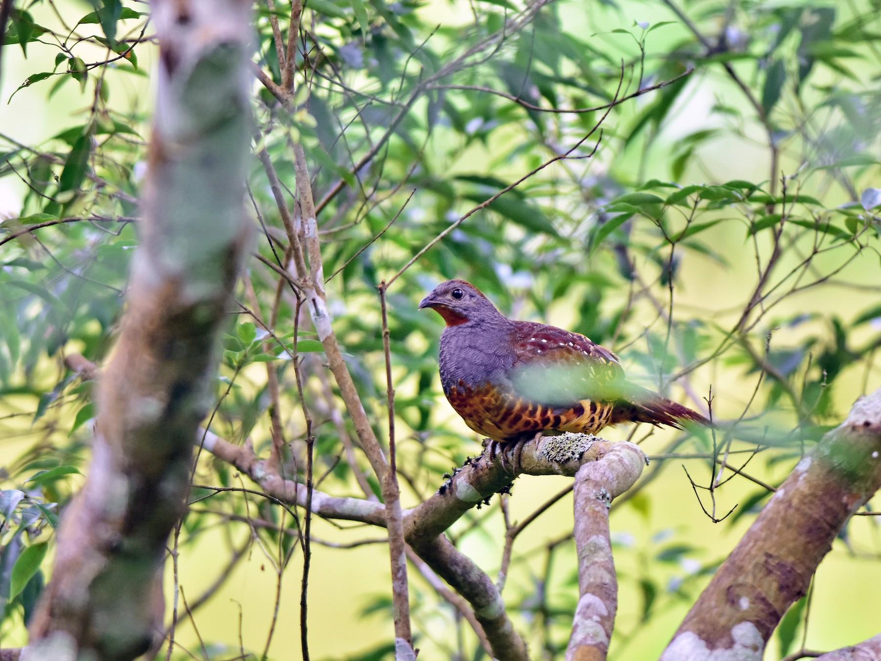 Taiwan Bamboo-Partridge - Zhao-Hui(釗輝) LIN(林)