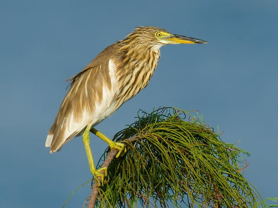 Chinese Pond-Heron - Craig Brelsford