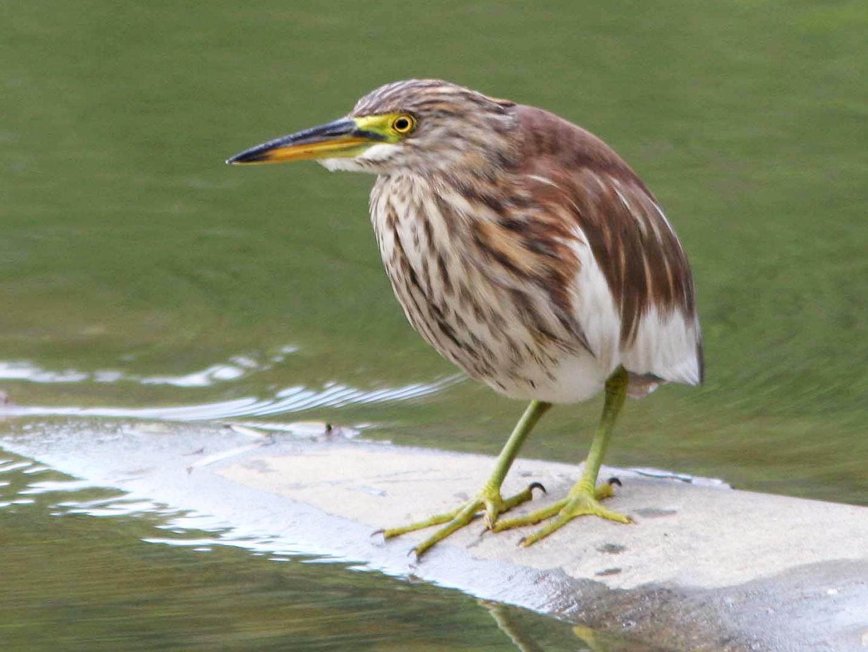Chinese Pond-Heron - Brad Bergstrom