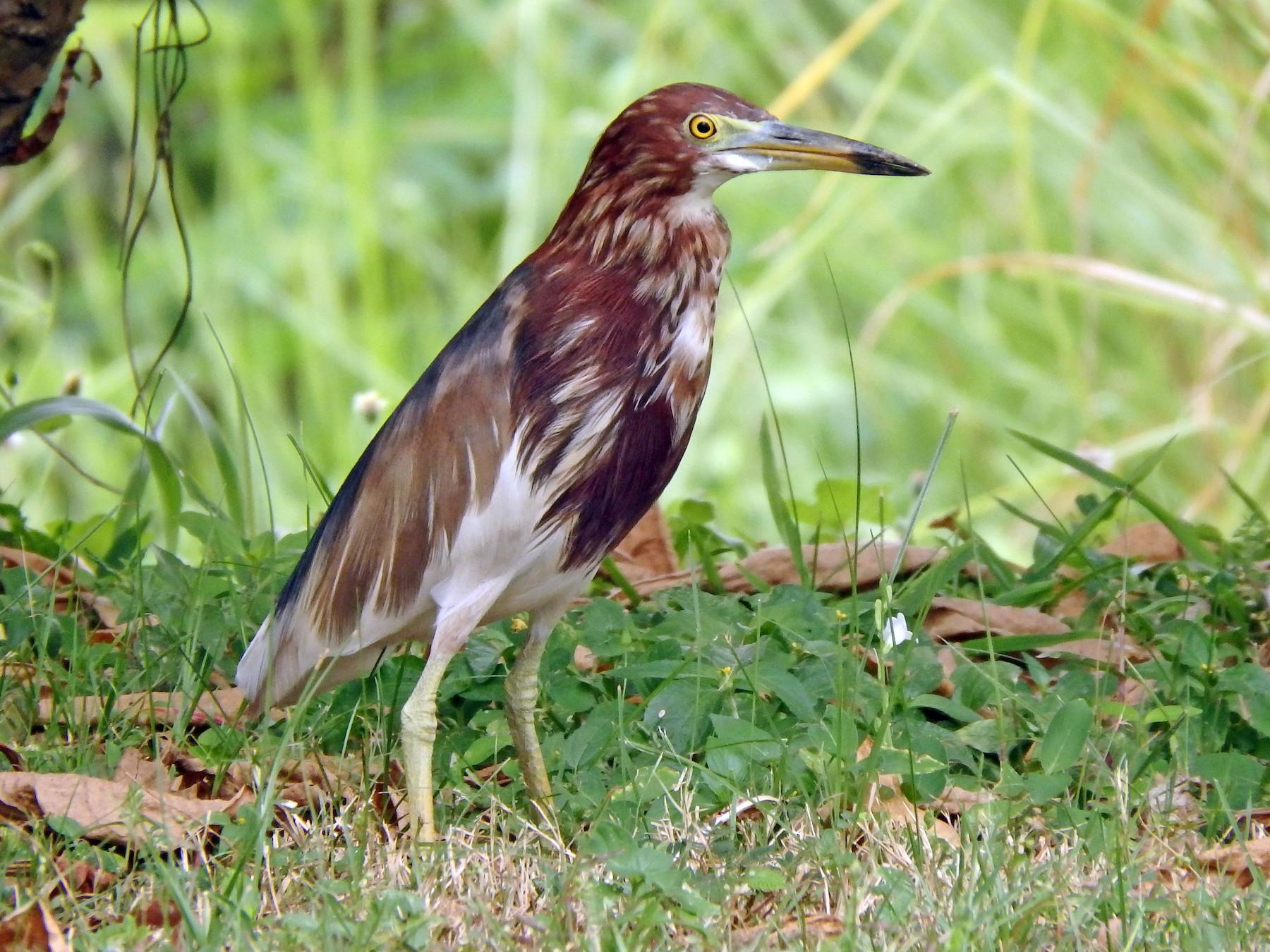 Chinese Pond-Heron - Kian Guan Tay