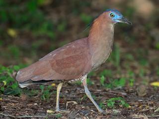 - Malayan Night-Heron