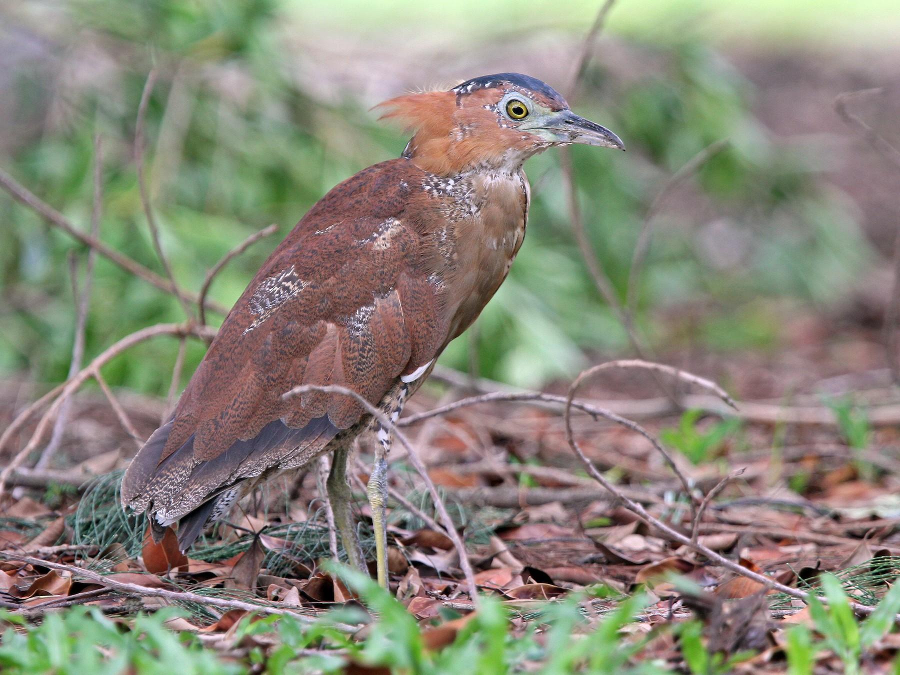Malayan Night-Heron - Christoph Moning