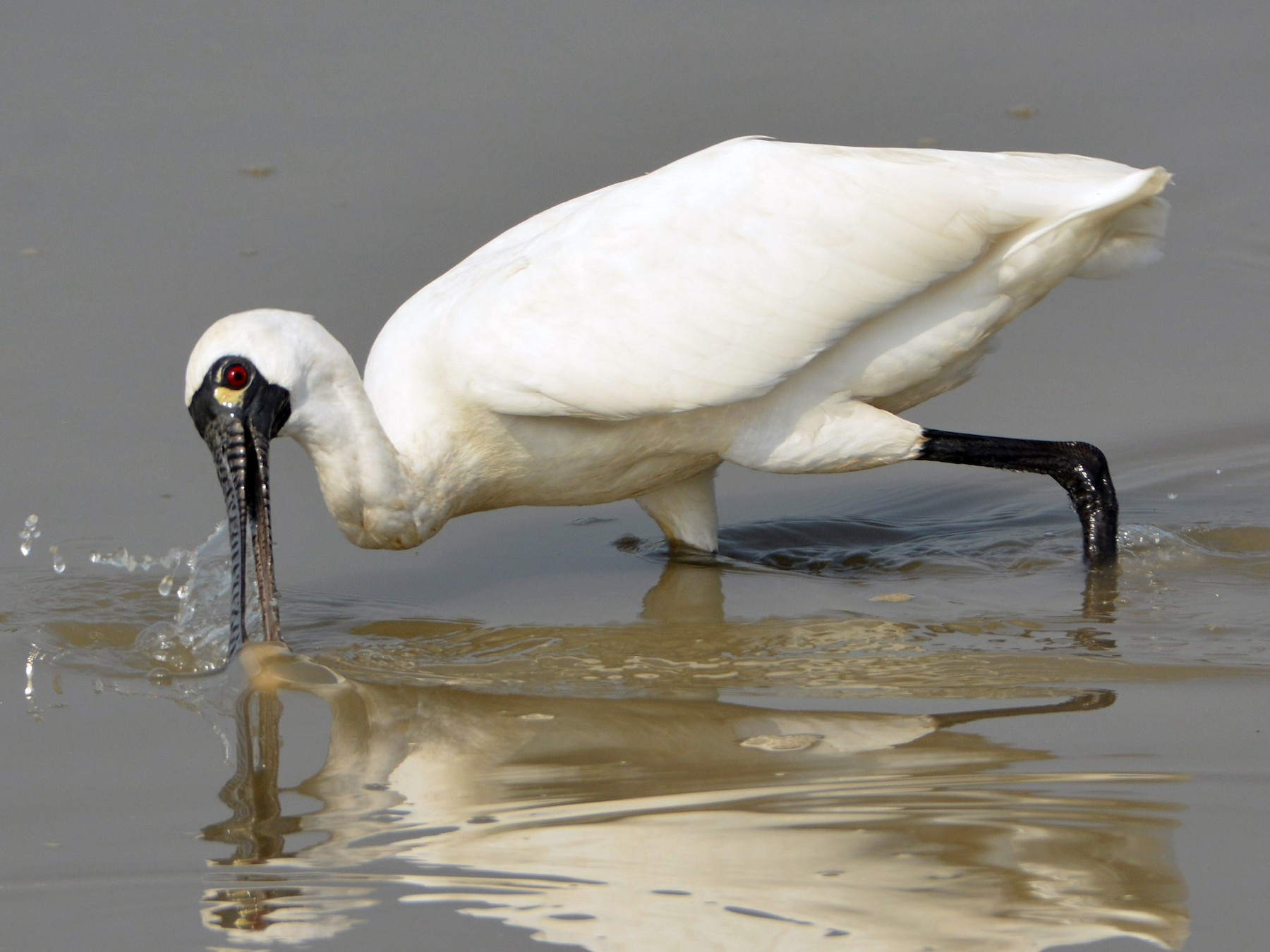 Black-faced Spoonbill - Cory