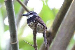- Sooty-capped Puffbird