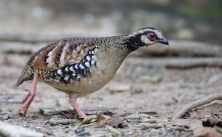- Bar-backed Partridge